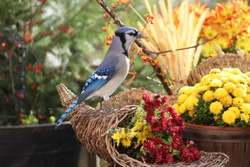 Exquisite Bluejay standing on top of a cornucopia filled with colorful mum displaying it's most brilliant shades of blue, with a background of snow touched mums, bittersweet and a green and red bokeh.