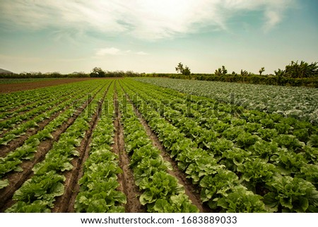 extensive field grown with lettuce Foto stock ©