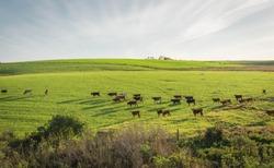 Extensive livestock farming farm in southern Brazil. Countryside in the winter dawn. Grassland fields.