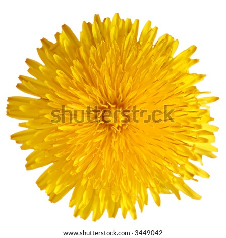 Extra close up of the dandelion on the white