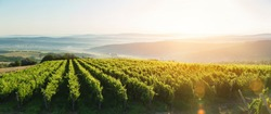 Extra wide panoramic shot of a summer vineyard shot at sunset