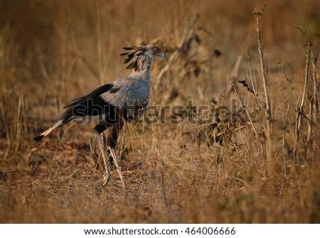 Extraordinary african bird Sagittarius serpentarius,  Secretarybird walking on savanna, looking for snakes. Zimbabwe, Hwange national park.