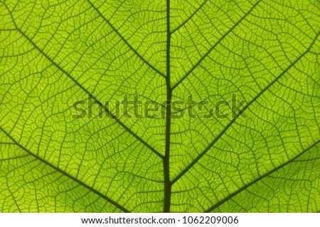 Extreme close up background texture of backlit green leaf veins #1062209006