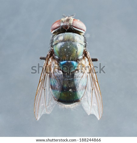 Extreme close up dirty died chrysomya species fly isolated on gray background -  stacked photo - deep focus image #188244866