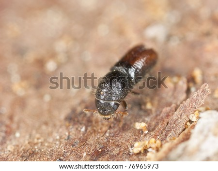 Extreme close-up of a Bark borer, this beetle is a major pest on woods