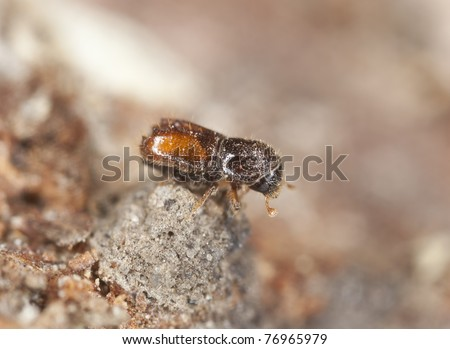 Extreme close-up of a Bark borer, this beetle is a major pest on woods - stock photo