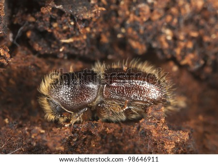 Extreme close-up of a Bark borer working on wood, this beetle is a major pest on woods - stock photo