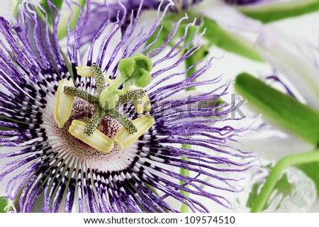 Extreme close up of a beautiful white and purple Passion Flower.