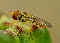 Extreme close-up of a Hover-fly sitting on a lily bud
