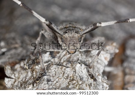 Extreme close-up of a male timberman (Acanthocinus aedilis)