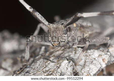 Extreme close-up of a male timberman (Acanthocinus aedilis) camouflaged on pine tree