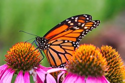 Extreme close-up of a Monarch butterfly feeding on a bright purple bloom.