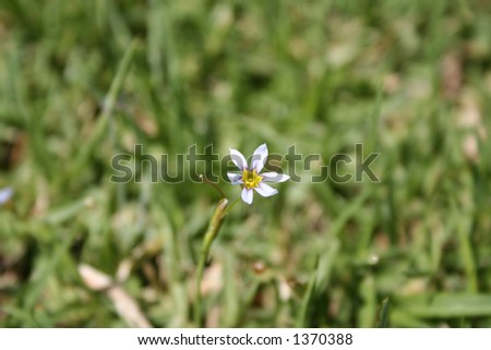 Extreme close-up of a small white flower in the grass