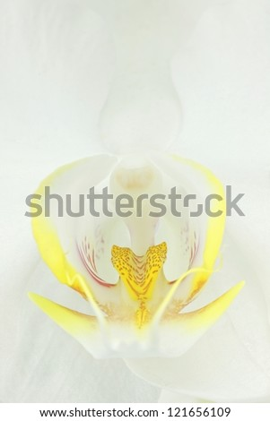 Extreme Close up of a White orchid in the phalaenopsis family