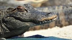 Extreme close up of a young alligator's head smiling at camera with crooked teeth