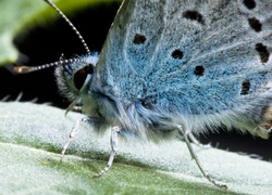 extreme close up of butterfly Common Blue (Polyomatus Icarus)