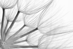 Extreme close-up of dandelion. Black&white, shallow DOF.