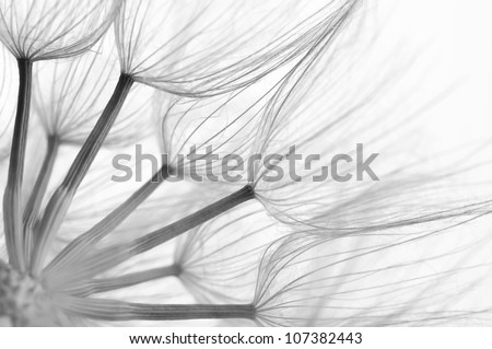 Extreme close-up of dandelion. Black&white, shallow DOF.