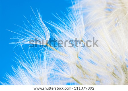 Extreme close-up of dandelion on blue background.
