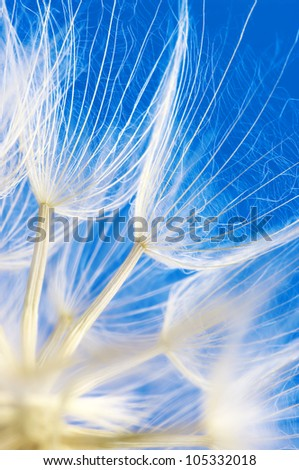 Extreme close-up of dandelion on blue background. Shallow DOF. - stock photo