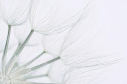 Extreme close-up of dandelion. Toned image, shallow DOF.