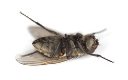Extreme close-up of dead House fly isolated on white background