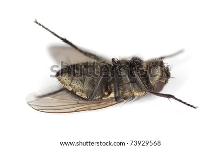 Extreme close-up of dead House fly isolated on white background #73929568