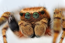 Extreme close-up of Evarcha falcata jumping spider