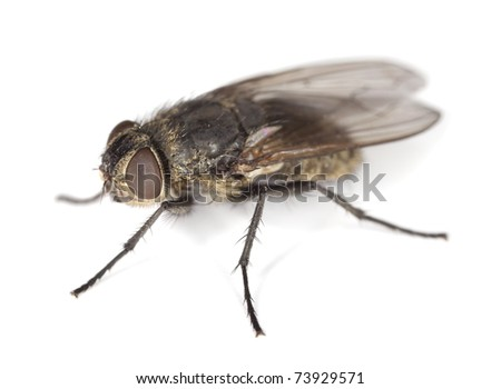 Extreme close-up of House fly isolated on white background #73929571