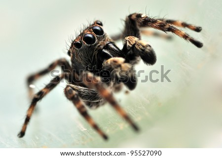 Extreme close-up of Sitticus pubescens jumping spider