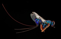 Extreme Close-up photo of Blue swaps on black background, Macro insect, close-up photo, insects flies, studio shoot.
