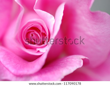 Extreme closeup of a blossoming pink rose.