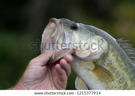 Extreme closeup of a largemouth bass held by a fisherman.