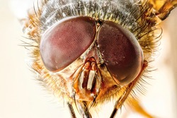 Extreme closeup of a New Zealand house fly specimen head, showing compound eyes and mouth parts, with a soft focus orange background.