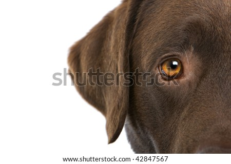 Extreme closeup of a partial view of the eye and ear area of a brown Labrador Retriever, isolated on a white background.