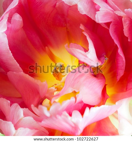 Extreme closeup of a tulip interior -- Pink and yellow French parrot variety with selective focus on the stamen. Top view.