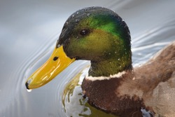 Extreme closeup of a wet male mallard duck with water drops on its head.