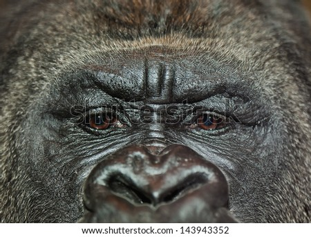 Extreme closeup of gorilla\'s face with sad facial expression. Shallow depth of field