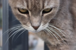 Extreme closeup of gray tabby cat with yellow eyes. Face looking down while eyes up toward the camera. Looking from under forehead with eyebrows raised. Long white whiskers.