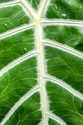 Extreme closeup of large green tropical leaf with white veins - alocasia or Kris Plant