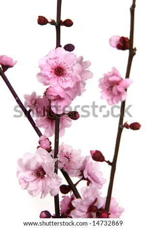 Extreme Depth of Field Image of Cherry Blossoms