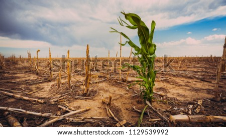 Extreme drought in a cornfield under a hot sun. There is one green stalk of corn.