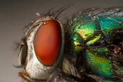 Extreme Macro Close Up of a Green Bottle Fly with Red Compound Eyes and Shiny Green Body Lucilia sericata