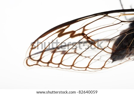 Extreme macro close up of the wings of Cicada insect on white background