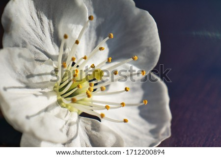 Extreme macro image of a white cherry blossom. The view from the side accentuates the many stamens. White Cherry Blossoms with soft petals and stamens.Обои фон, рабочий стол, обложка. Stock photo ©