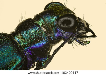 Extreme macro insect tiger beetle  (Cicindela scutellaris) - stock photo