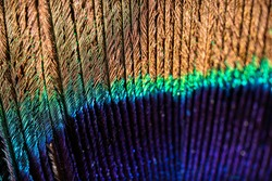 Extreme macro photo of a peacock feather featuring vibrant colours and textures. Texture background.