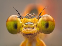 Extreme macro shot eye of Zygoptera dragonfly in wild. Close up detail of eye dragonfly is very small. Dragonfly on yellow leave. Selective focus.