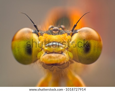 Extreme macro shot eye of Zygoptera dragonfly in wild. Close up detail of eye dragonfly is very small. Dragonfly on yellow leave. Selective focus. #1018727914