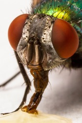 Extreme macro shot of a thirsty common green bottle fly (Lucilia sericata) blow fly drining honey on a white surface